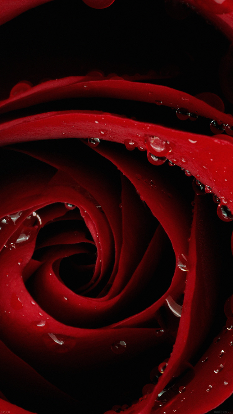 papers.co mh81 beautiful red rose flower nature 33 iphone6 wallpaper