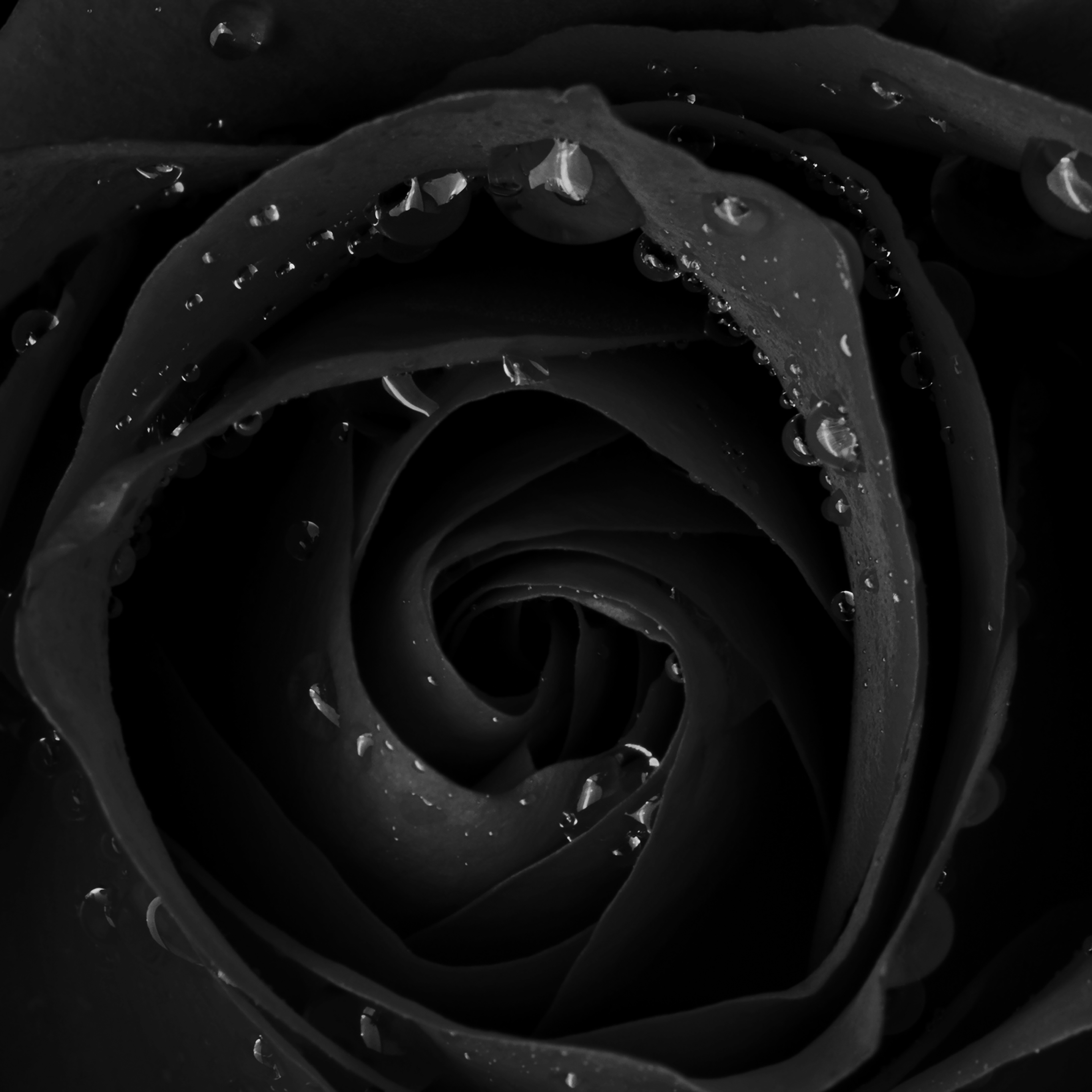 Mh83 Beautiful Dark Rose Flower Nature Wallpaper