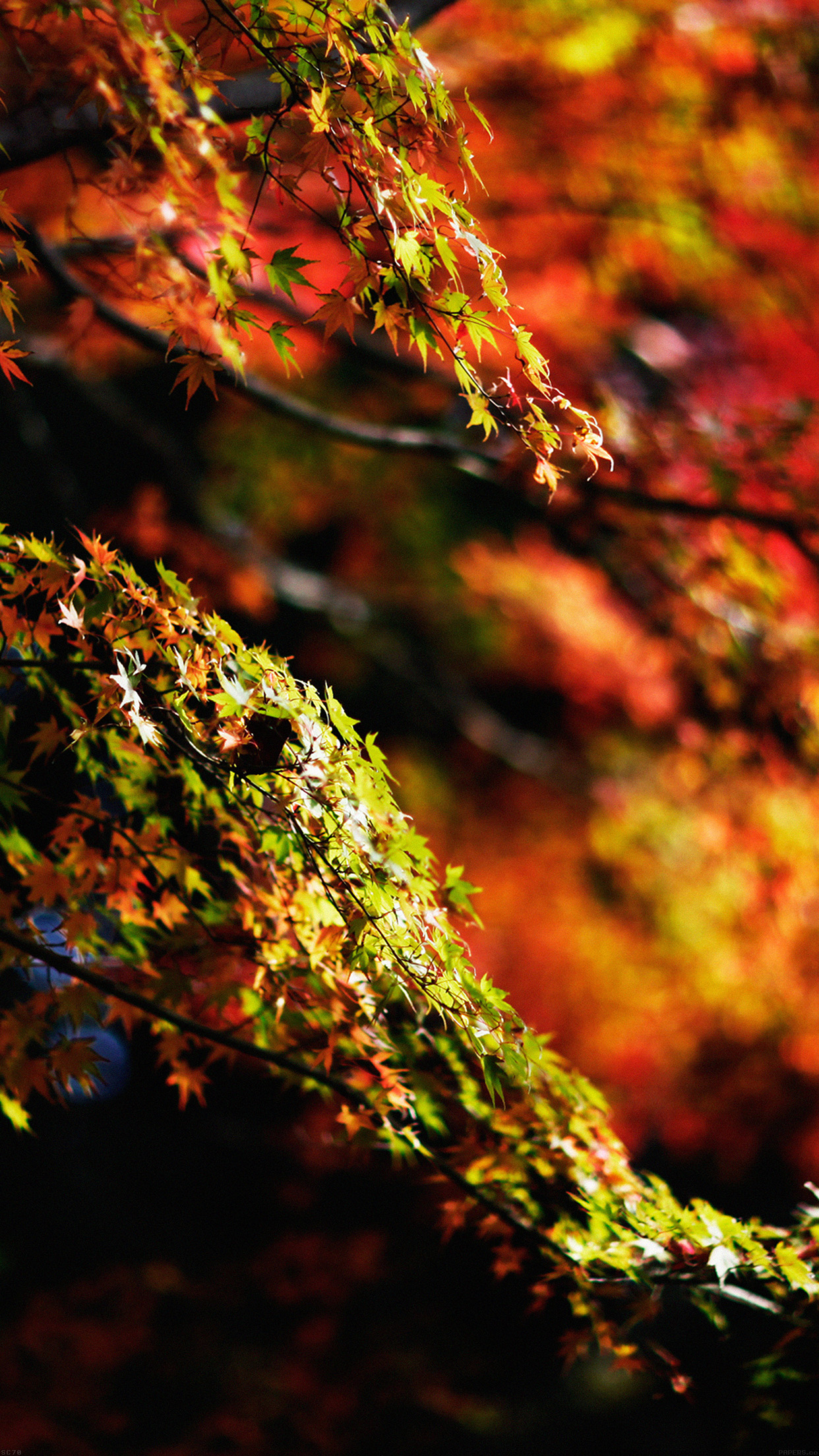 Iphone6papers Mh97 Japanese Maple Tree Fall Nature