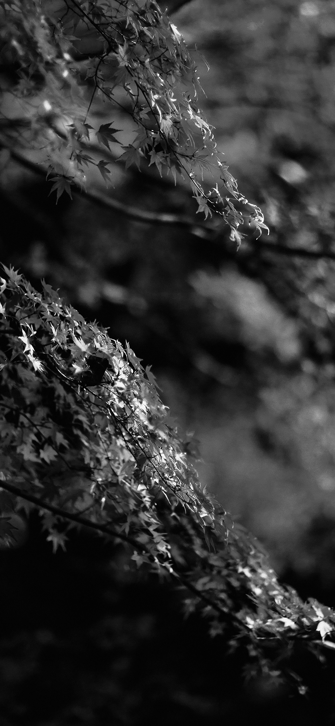 papers.co mh98 japanese maple tree fall nature black and white 41 iphone wallpaper