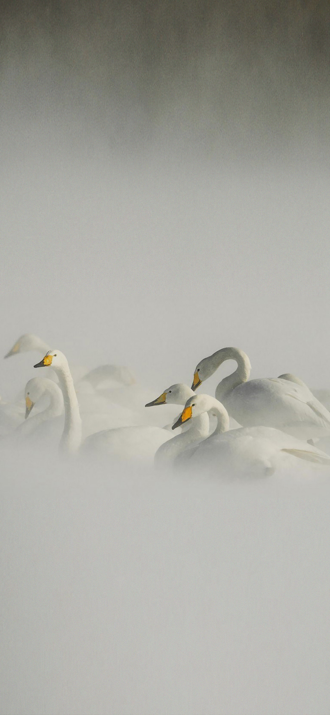 iPhoneXpapers.com-Apple-iPhone-wallpaper-mi25-swan-birds-nature-animal