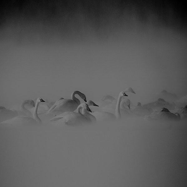 iPapers.co-Apple-iPhone-iPad-Macbook-iMac-wallpaper-mi26-swan-birds-nature-animal-dark-wallpaper