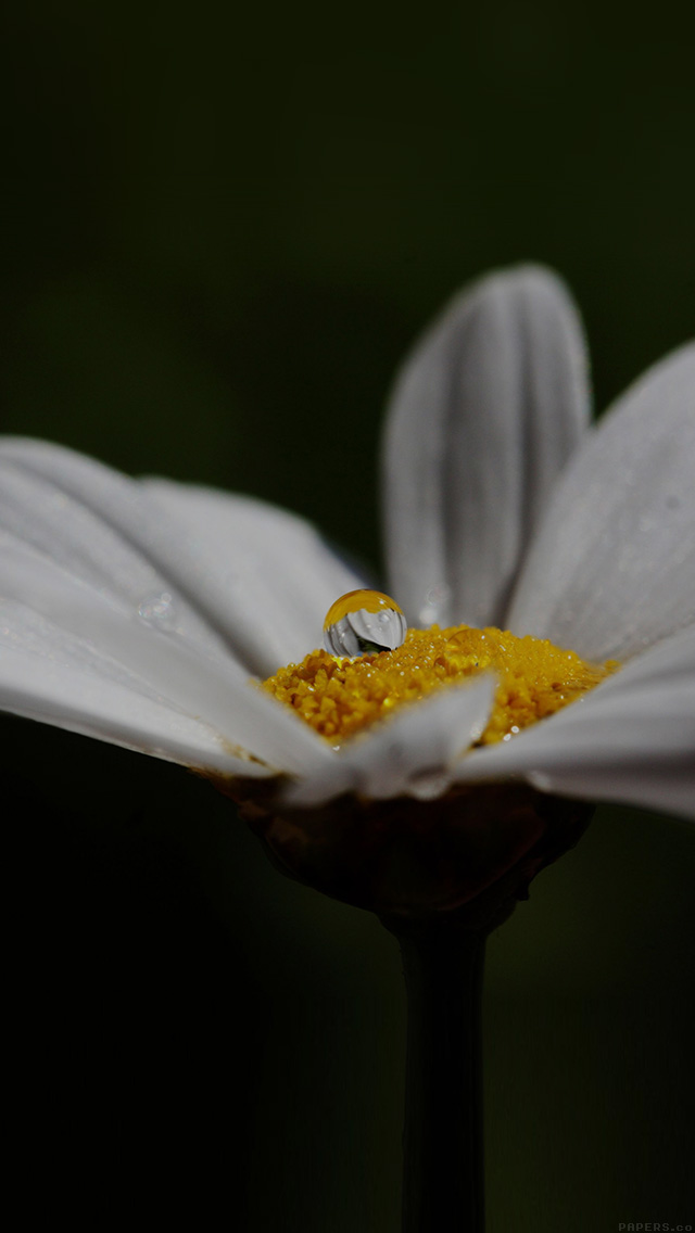 freeios8.com-iphone-4-5-6-plus-ipad-ios8-mi87-white-flower-yellow-rain-drop-nature