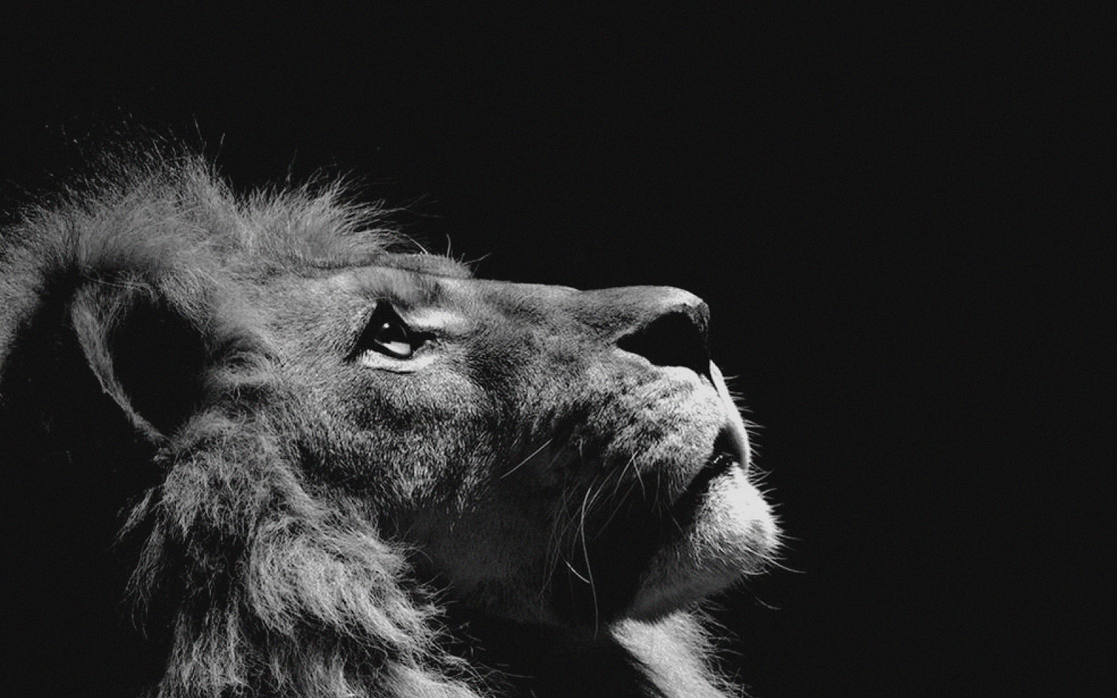 mj50-lion-looking-sky-animal-nature-dark-photo - papers.co