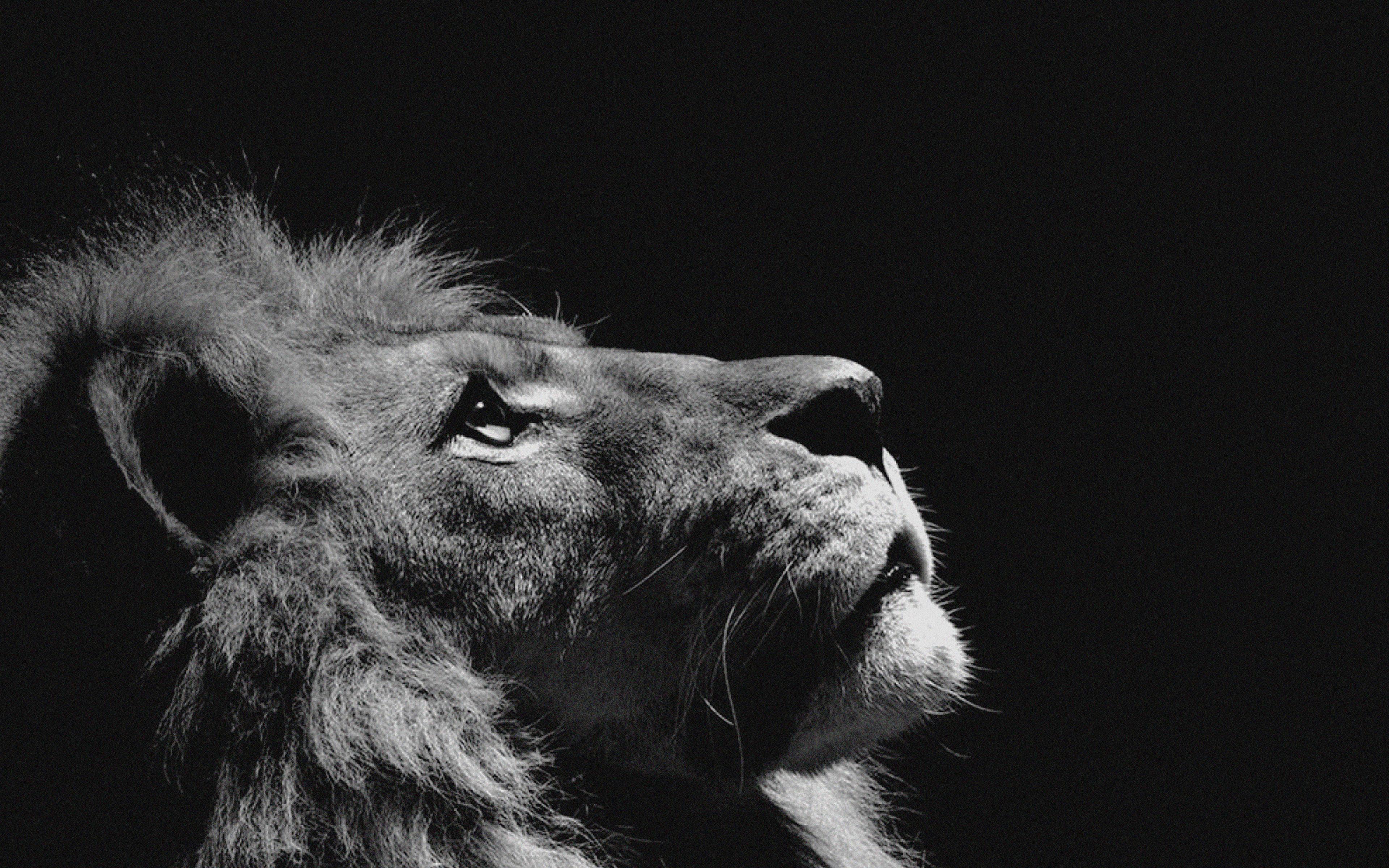 Mj50 Lion Looking Sky Animal Nature Dark Photo Papersco