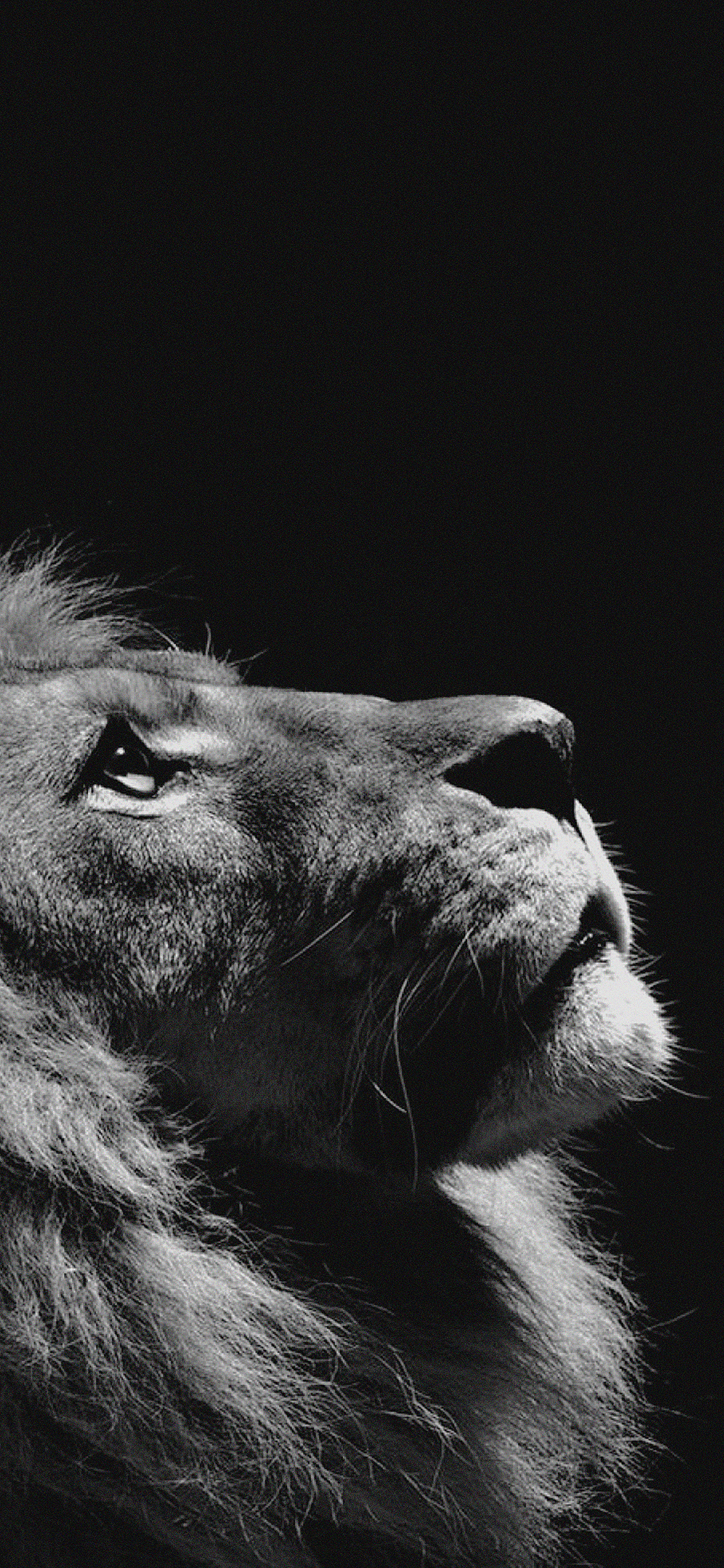 iPhoneXpapers.com-Apple-iPhone-wallpaper-mj50-lion-looking-sky-animal-nature-dark-photo