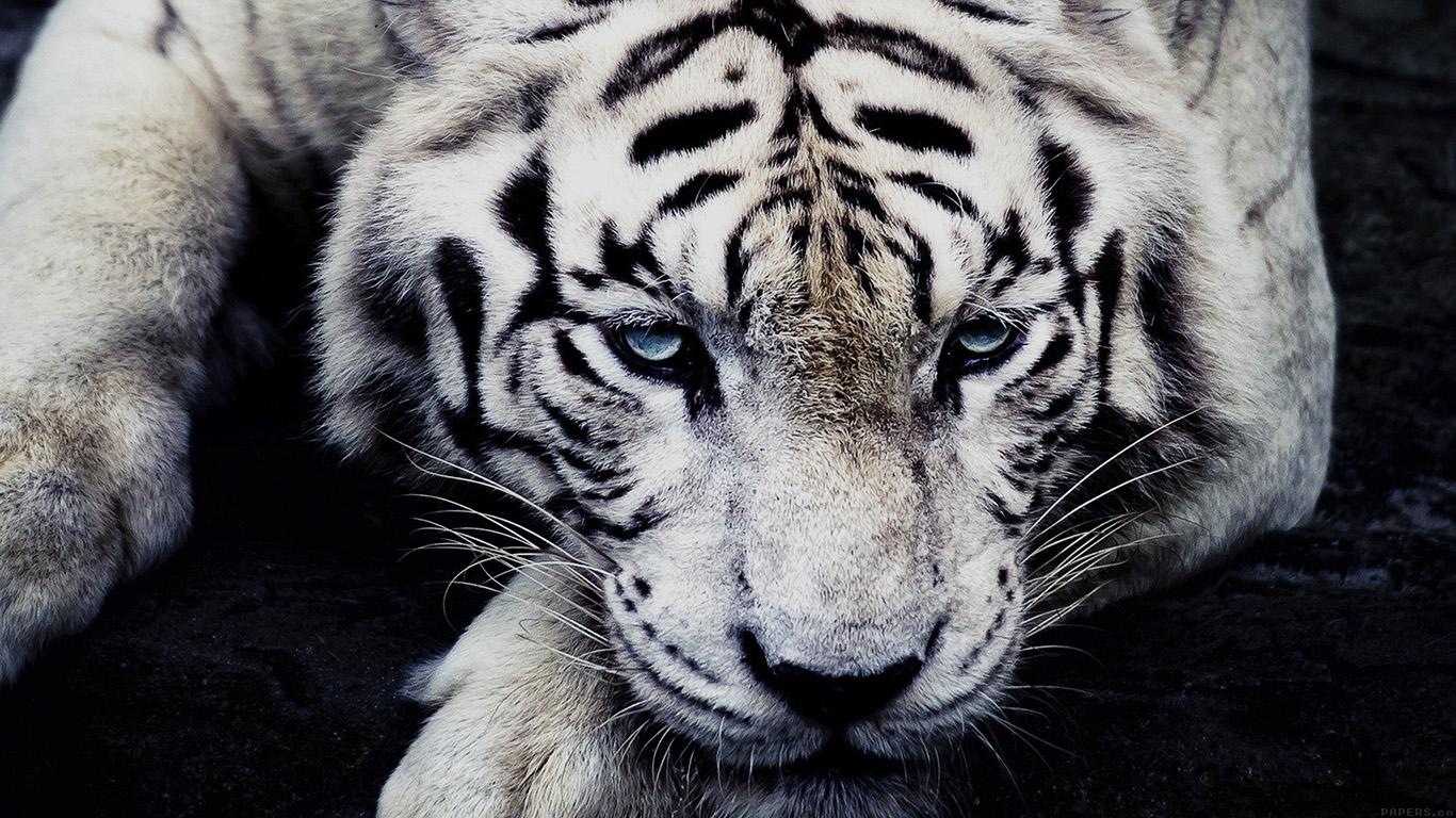 desktop-wallpaper-laptop-mac-macbook-airml56-white-tiger-animal-wallpaper