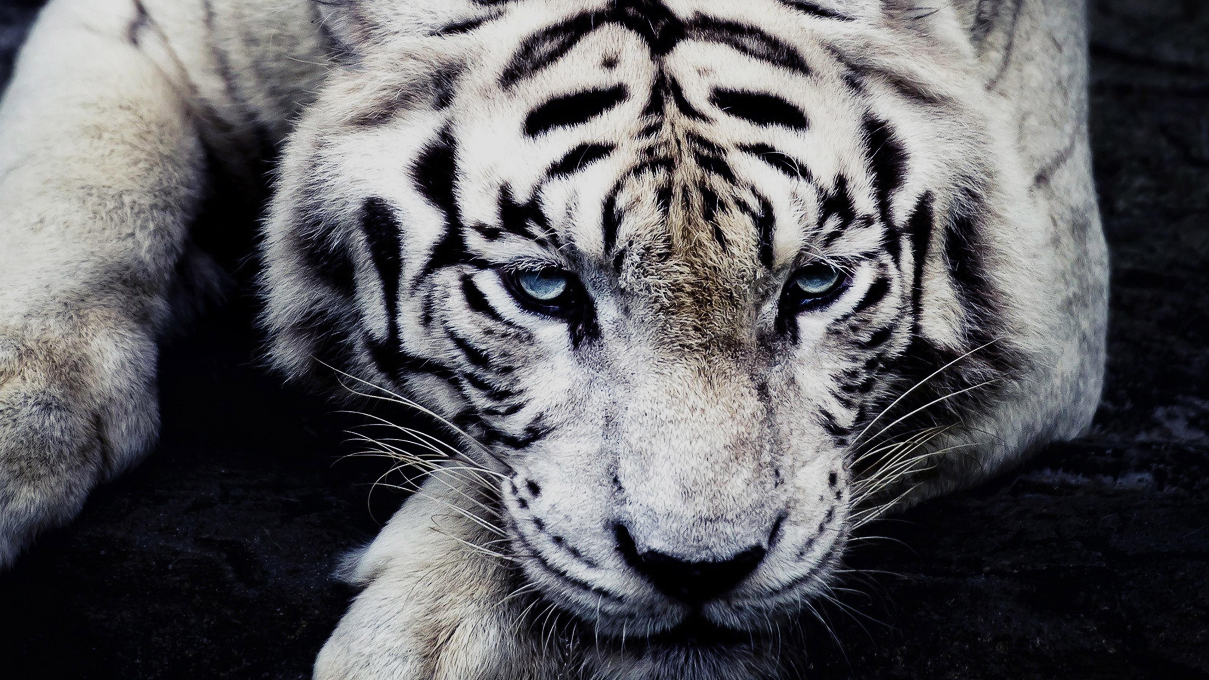 3840 x 2400 - White tiger wallpaper free download ...