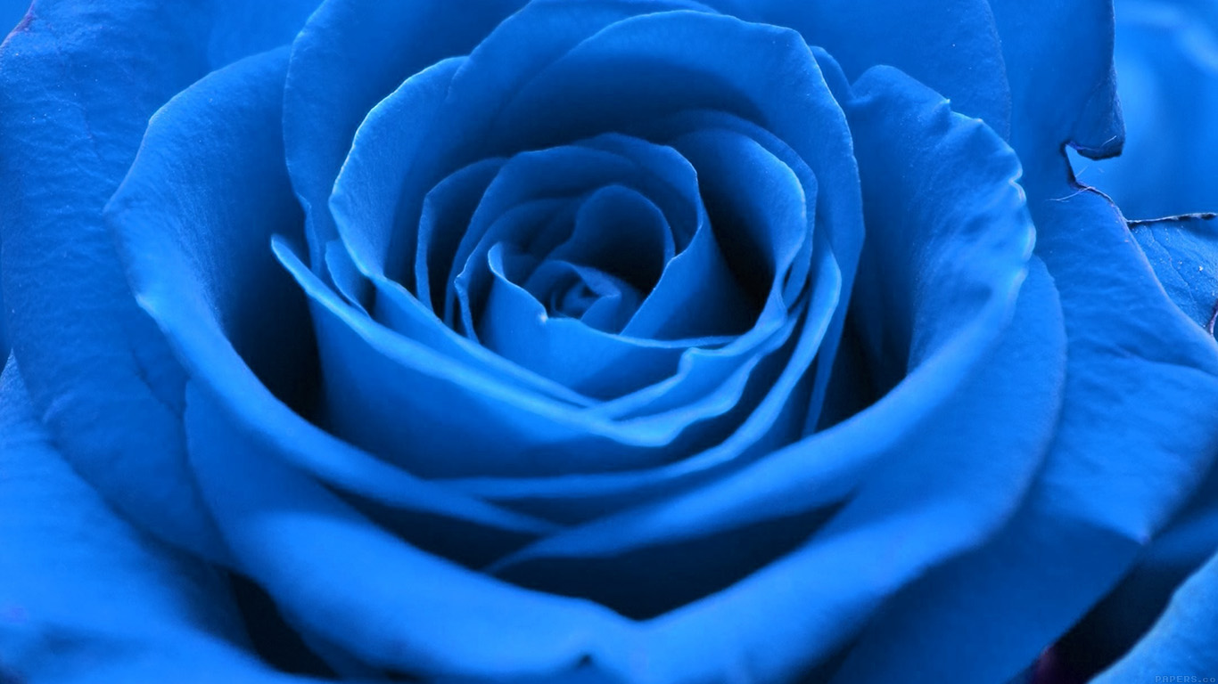 desktop-wallpaper-laptop-mac-macbook-airml59-rose-flower-blue-nature-wallpaper
