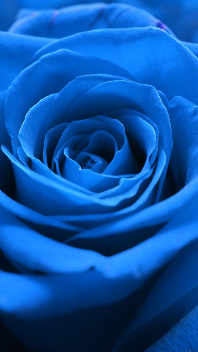 iPhonepapers.com-Apple-iPhone8-wallpaper-ml59-rose-flower-blue-nature
