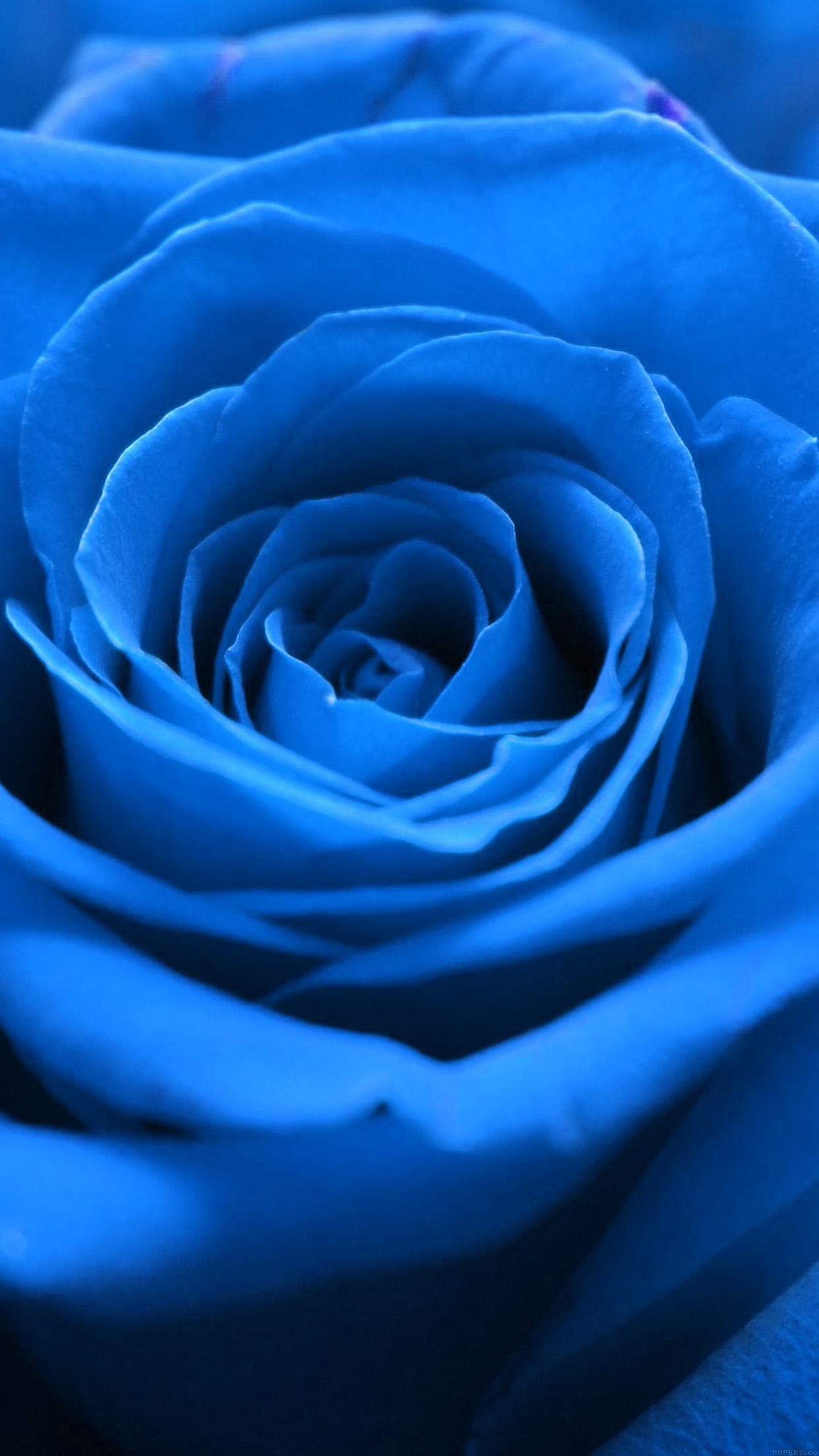 iphonexpapers - ml59-rose-flower-blue-nature