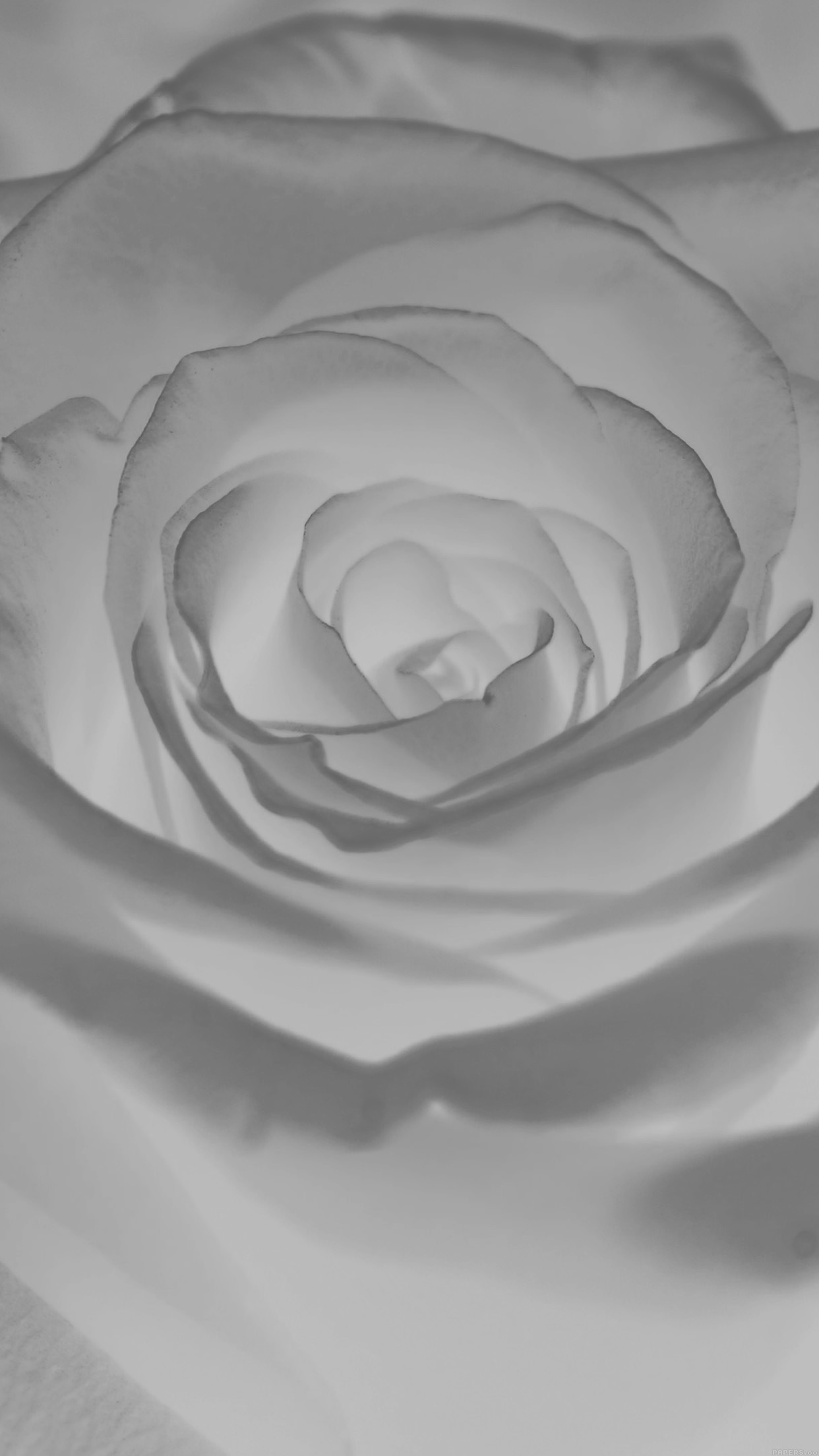 White Roses Wallpaper Iphone 6 Image Of Bear And Rose Imagetool Co