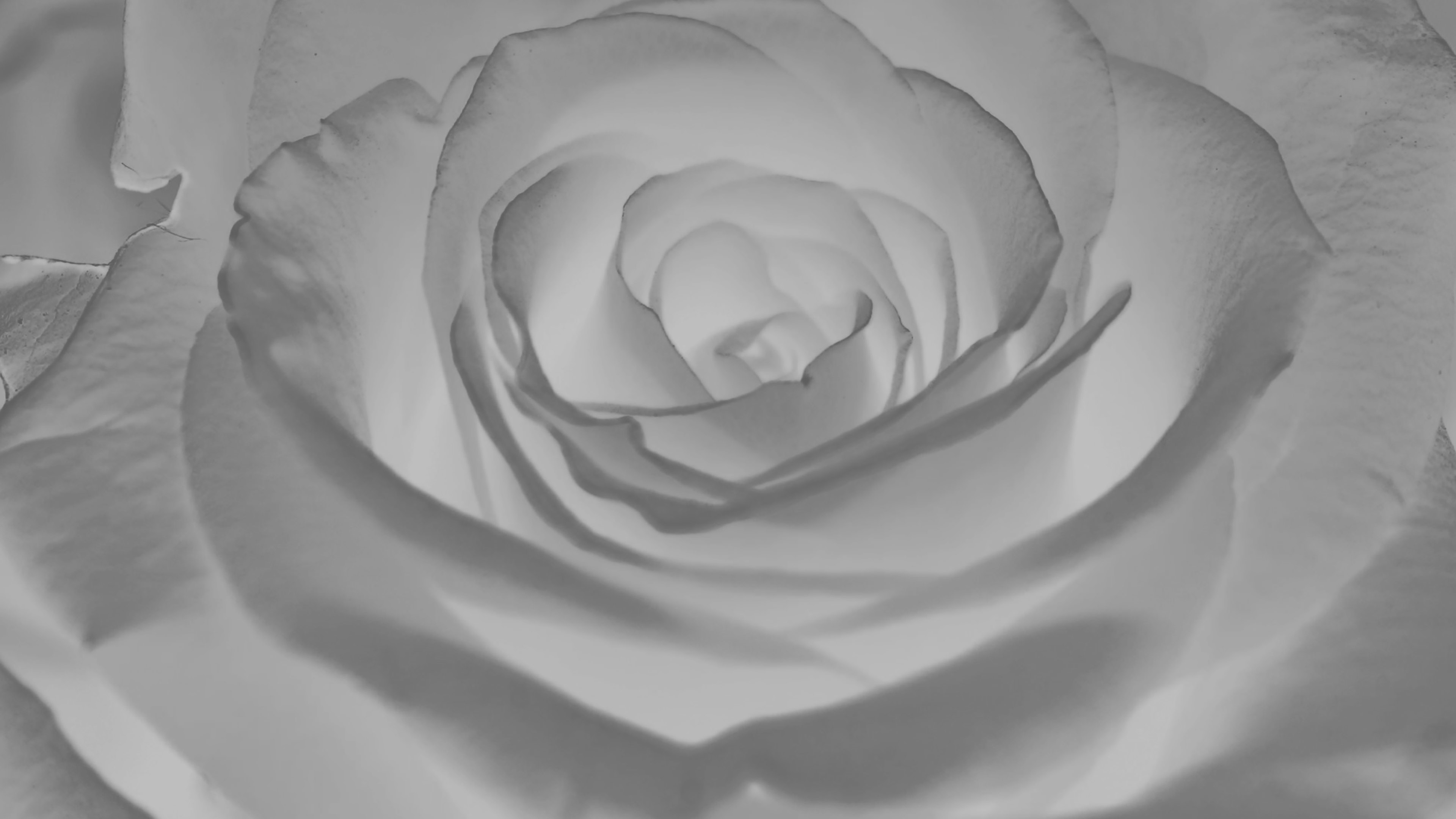 white rose essay tulsa White rose society essay 2017  the purpose of this essay contest is to record the stories that must be told to yesterday's, today's and tomorrow's children part a: research the history of a specific child or youth who was caught in or witnessed the events of the holocaust in europe this person could have lived in a ghetto, been.