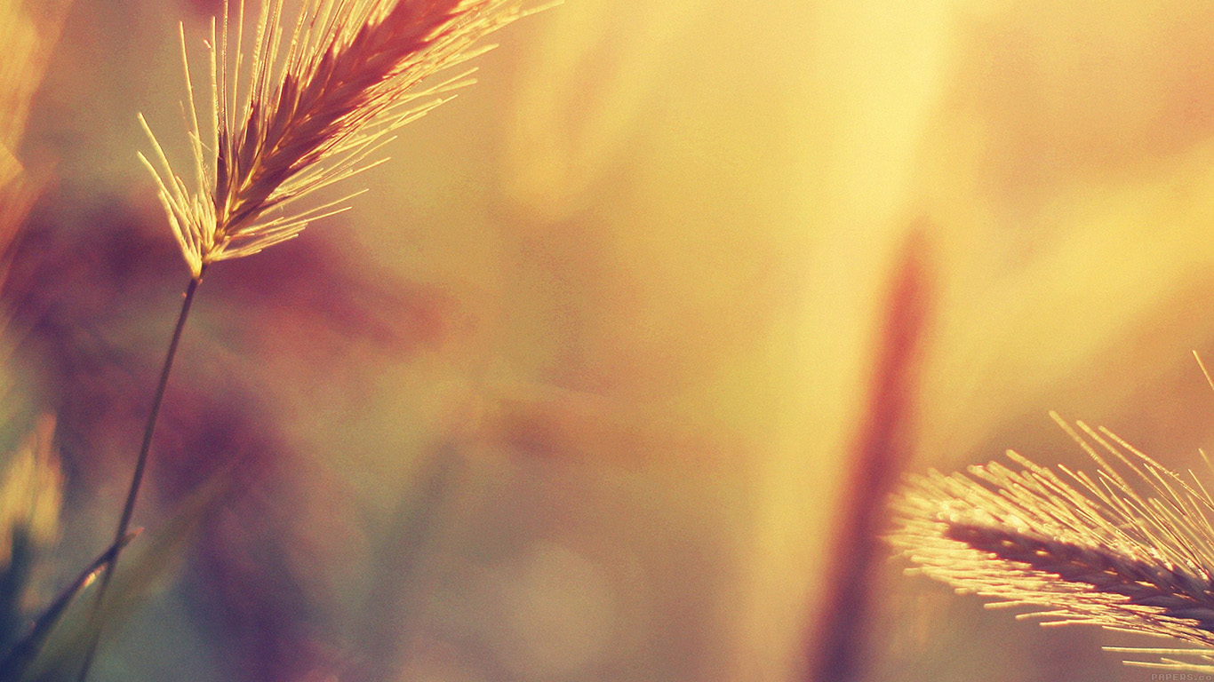 desktop-wallpaper-laptop-mac-macbook-airmm18-sunset-reed-flower-nature-wallpaper