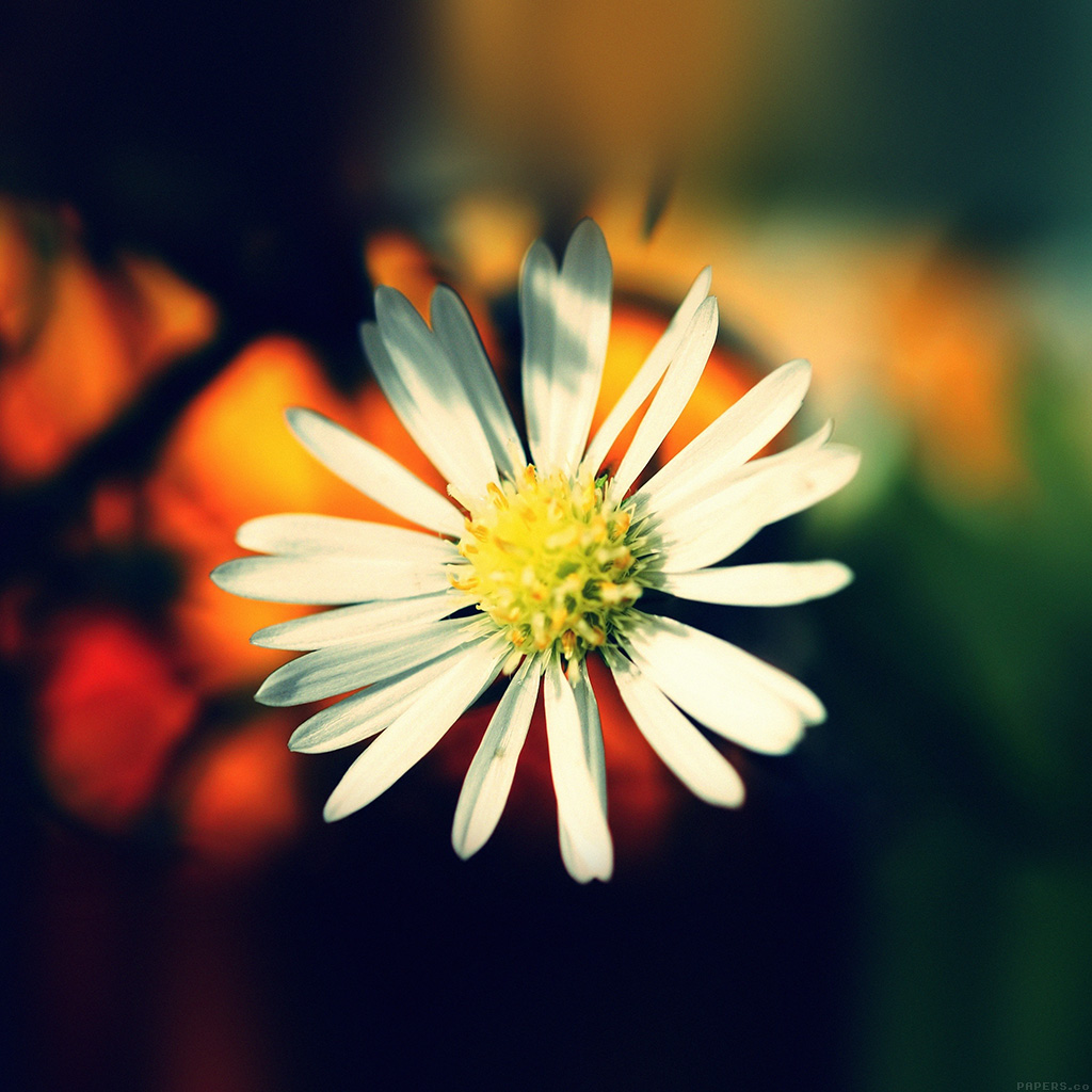 android-wallpaper-mm34-white-flower-nature-wallpaper