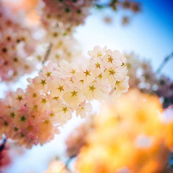 iPapers.co-Apple-iPhone-iPad-Macbook-iMac-wallpaper-mm38-flower-blossom-cherry-flare-tree-nature-wallpaper