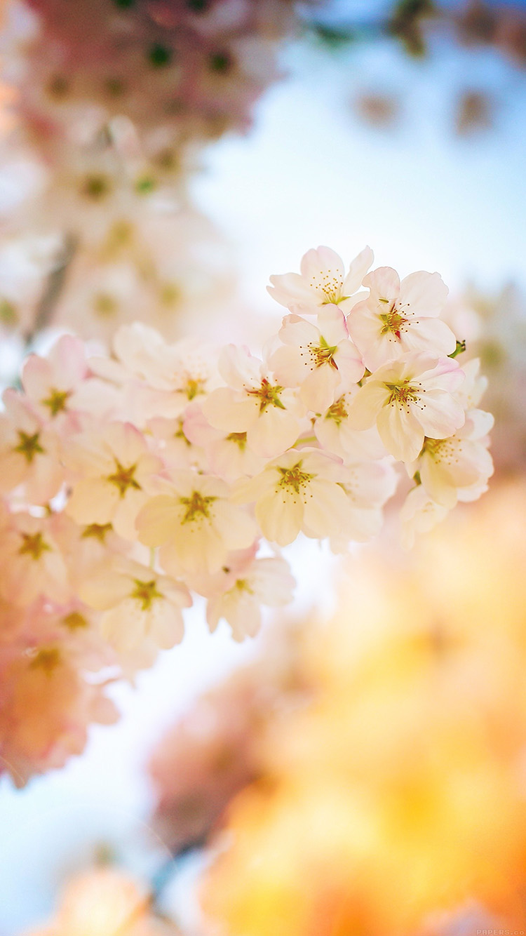 iPhone6papers.co-Apple-iPhone-6-iphone6-plus-wallpaper-mm38-flower-blossom-cherry-flare-tree-nature