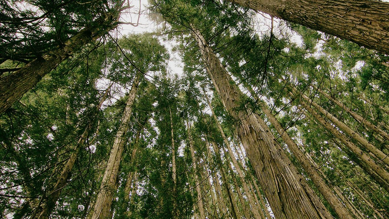 desktop-wallpaper-laptop-mac-macbook-airmn43-in-forest-tall-tree-kim-daniel-nature-wallpaper