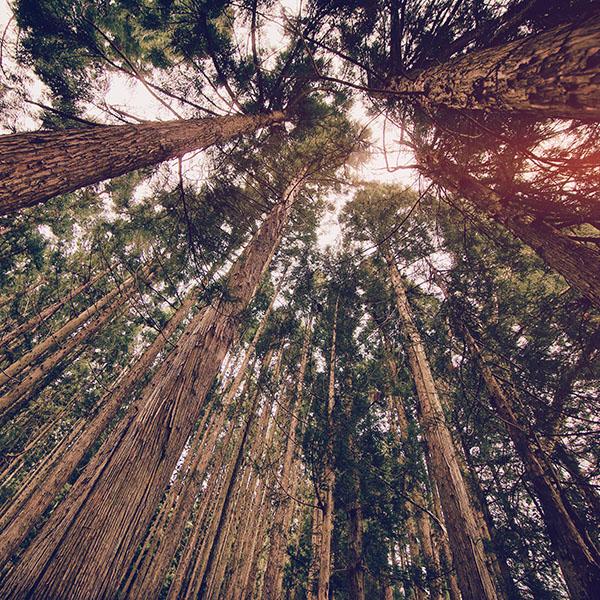 iPapers.co-Apple-iPhone-iPad-Macbook-iMac-wallpaper-mn44-in-forest-tall-tree-flare-kim-daniel-nature-wallpaper
