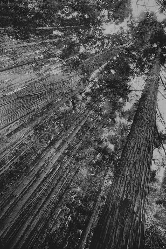 freeios7.com-iphone-4-iphone-5-ios7-wallpapermn46-in-forest-tall-tree-flare-dark-bw-kim-daniel-nature-iphone4