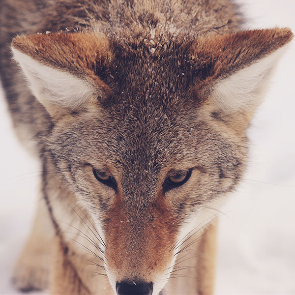 iPapers.co-Apple-iPhone-iPad-Macbook-iMac-wallpaper-mn83-wolf-snow-animal-levi-saunders-wallpaper