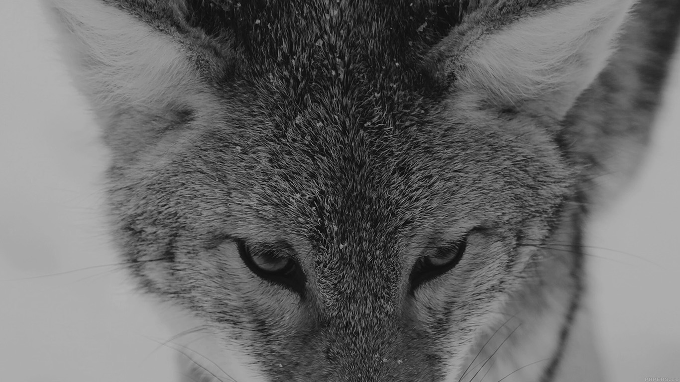 desktop-wallpaper-laptop-mac-macbook-airmn84-wolf-snow-animal-dark-bw-levi-saunders-wallpaper