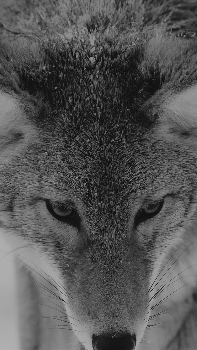iPhonepapers.com-Apple-iPhone8-wallpaper-mn84-wolf-snow-animal-dark-bw-levi-saunders
