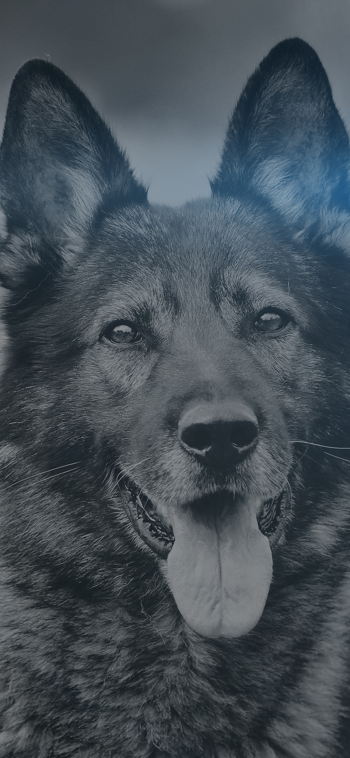 iPhoneXpapers.com-Apple-iPhone-wallpaper-mo07-my-shepherds-dog-blue-flare-smile-animal-nature