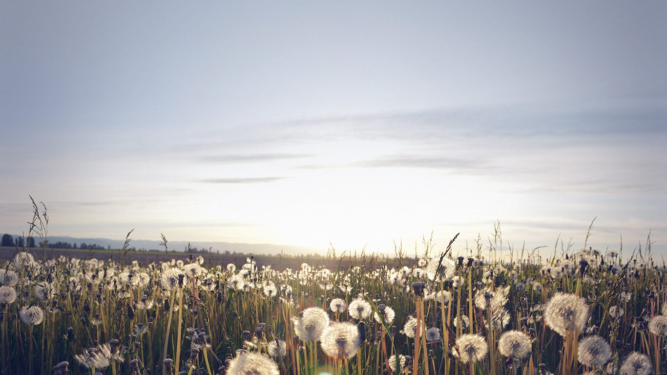 desktop-wallpaper-laptop-mac-macbook-airmo32-nature-love-flower-dandelion-wallpaper