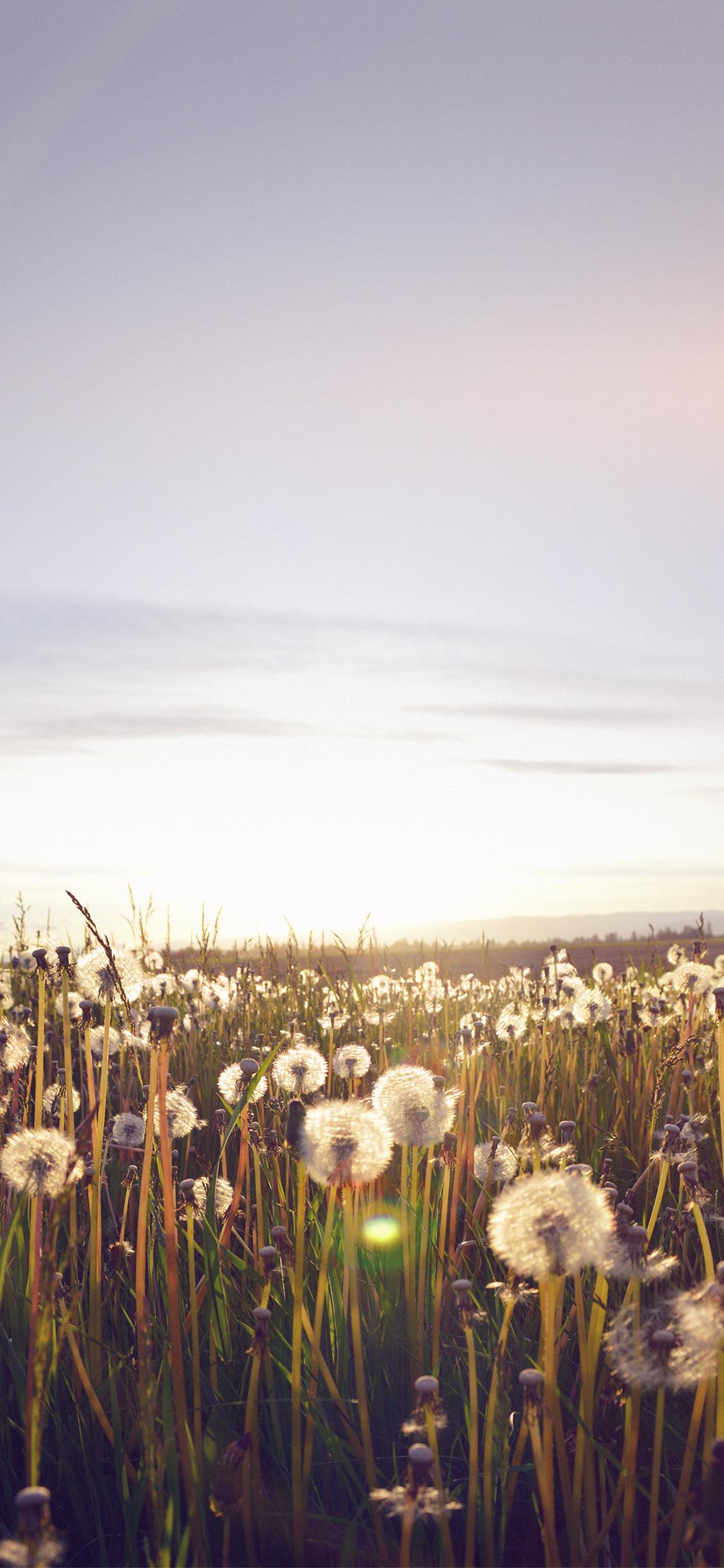 iPhoneXpapers.com-Apple-iPhone-wallpaper-mo33-nature-love-flower-flare-dandelion