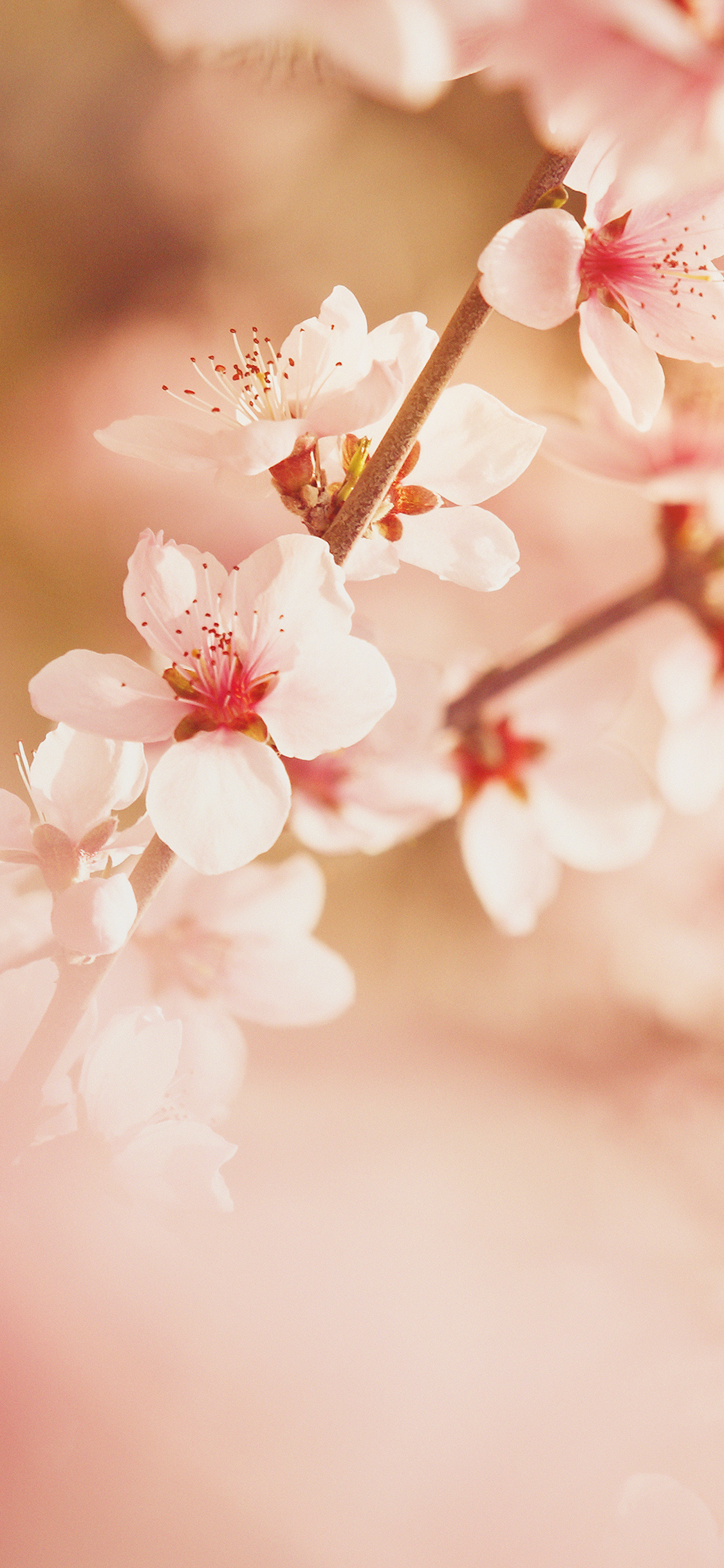 iPhoneXpapers.com-Apple-iPhone-wallpaper-mp02-spring-flower-sullysully-cherry-blossom-nature