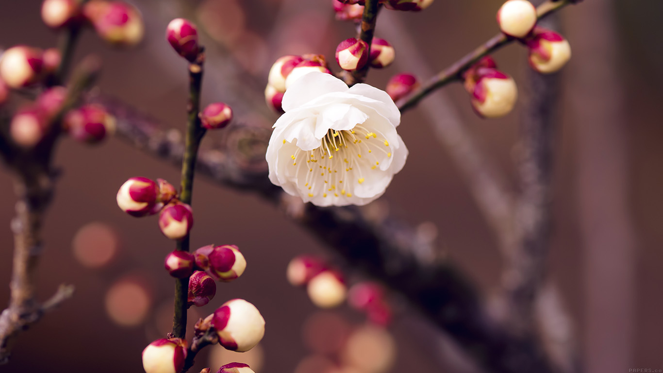 desktop-wallpaper-laptop-mac-macbook-airmp15-apricot-flower-bud-spring-nature-twigs-tree-wallpaper
