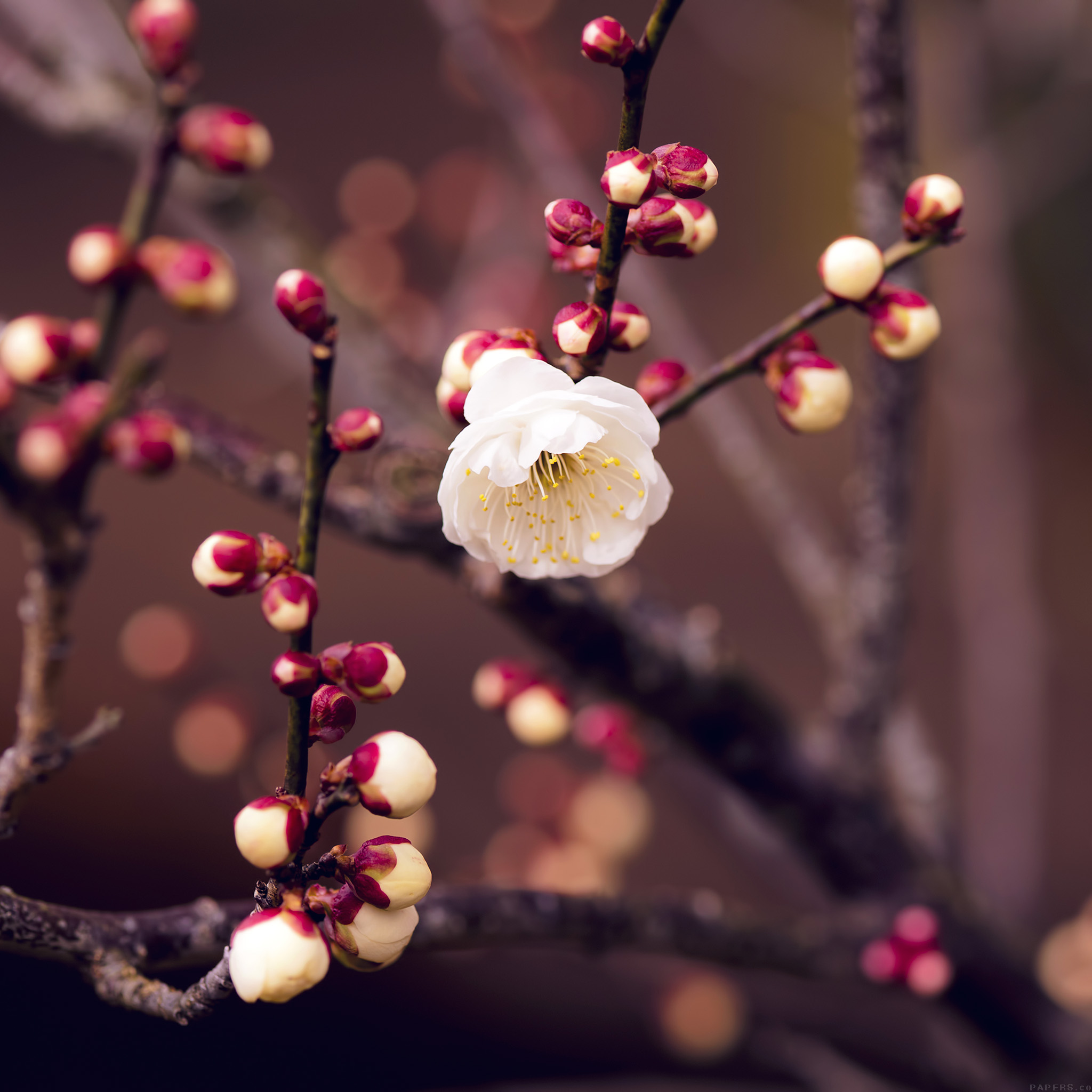 Mp15-apricot-flower-bud-spring-nature-twigs-tree