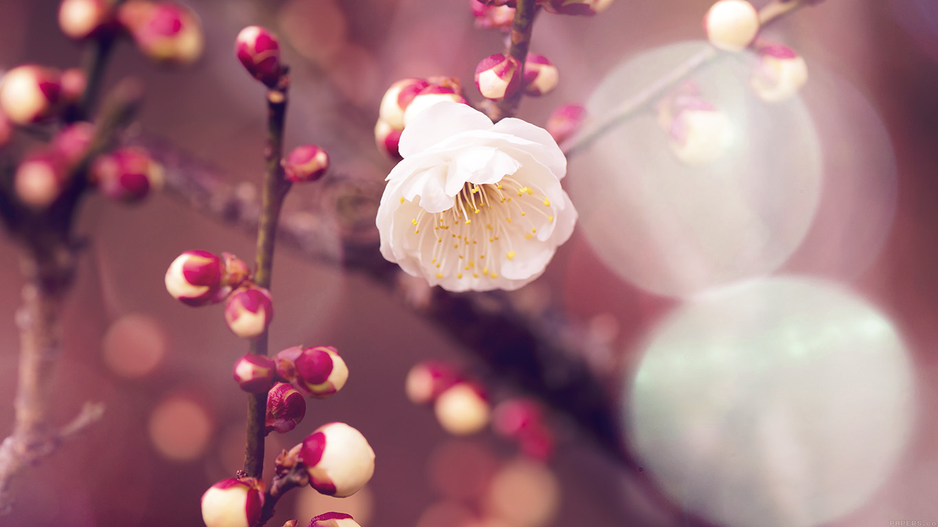 desktop-wallpaper-laptop-mac-macbook-airmp16-apricot-flower-bud-flare-spring-nature-twigs-tree-wallpaper
