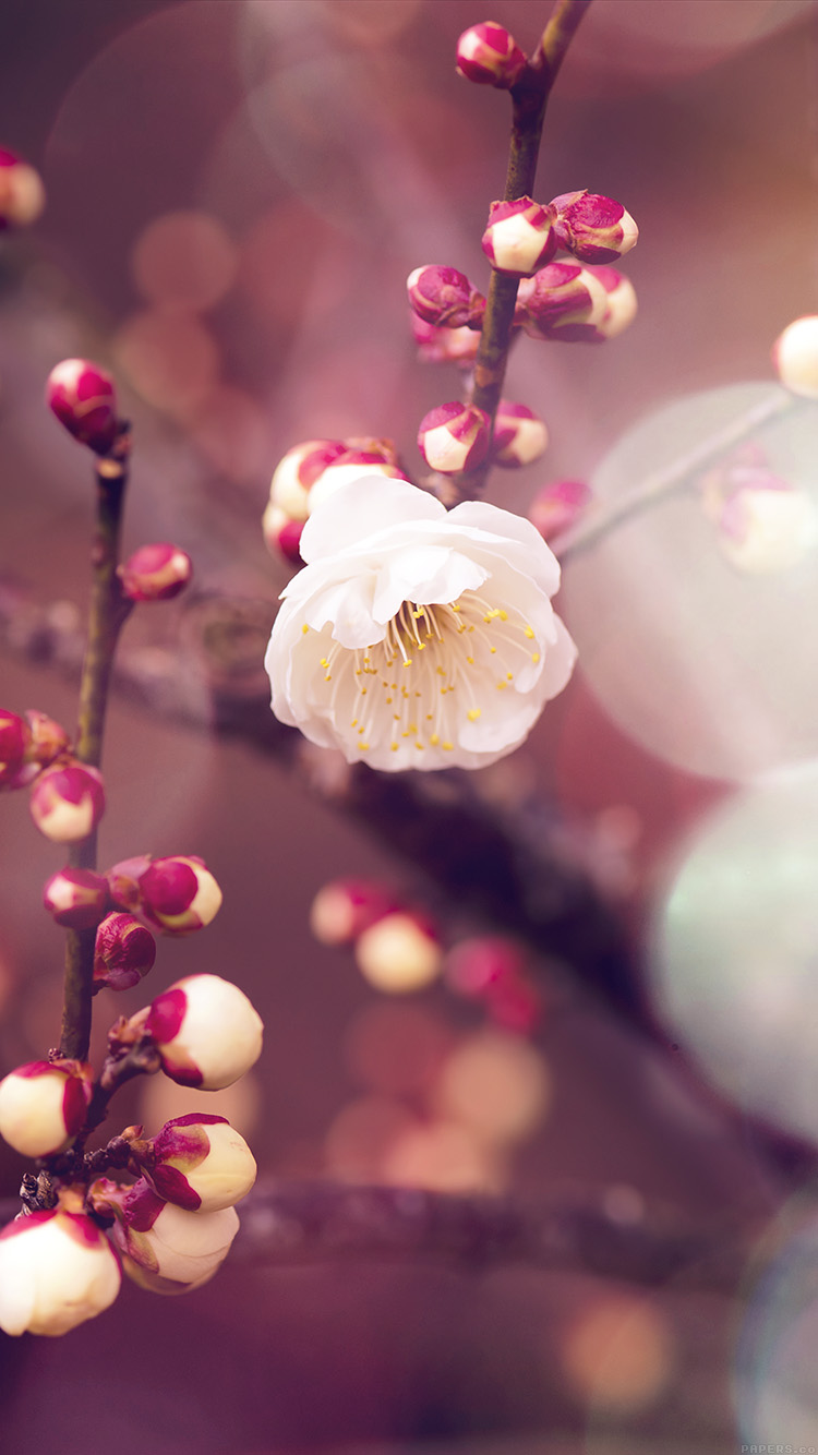 iPhone6papers.co-Apple-iPhone-6-iphone6-plus-wallpaper-mp16-apricot-flower-bud-flare-spring-nature-twigs-tree