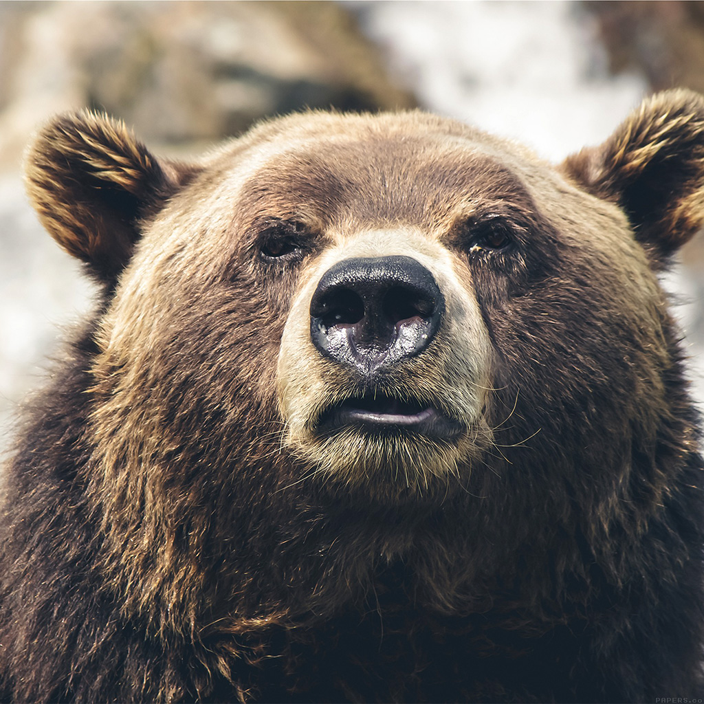 wallpaper-mp73-bear-face-what-the-hell-nature-animal-wallpaper