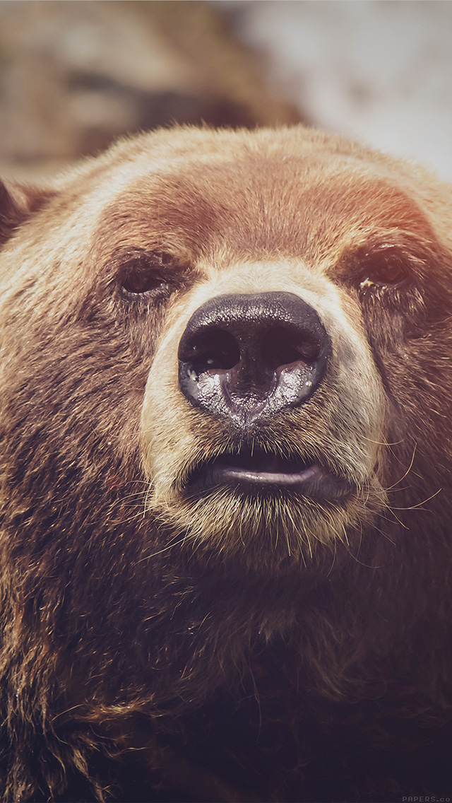 freeios8.com-iphone-4-5-6-plus-ipad-ios8-mp74-bear-face-what-the-hell-nature-flare-animal