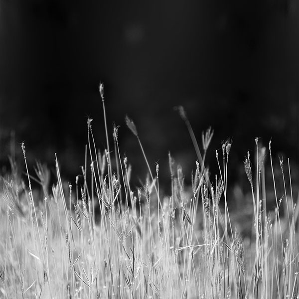 iPapers.co-Apple-iPhone-iPad-Macbook-iMac-wallpaper-mp89-reed-weed-flower-nature-flare-black-bw-wallpaper