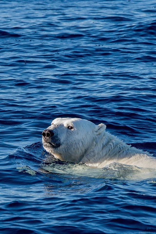 freeios7.com-iphone-4-iphone-5-ios7-wallpapermq04-watch-me-swim-polar-bear-sea-animal-iphone4