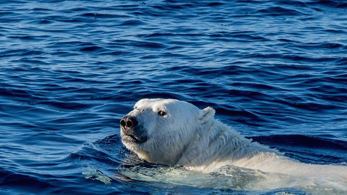 wallpaper-desktop-laptop-mac-macbook-mq04-watch-me-swim-polar-bear-sea-animal-wallpaper