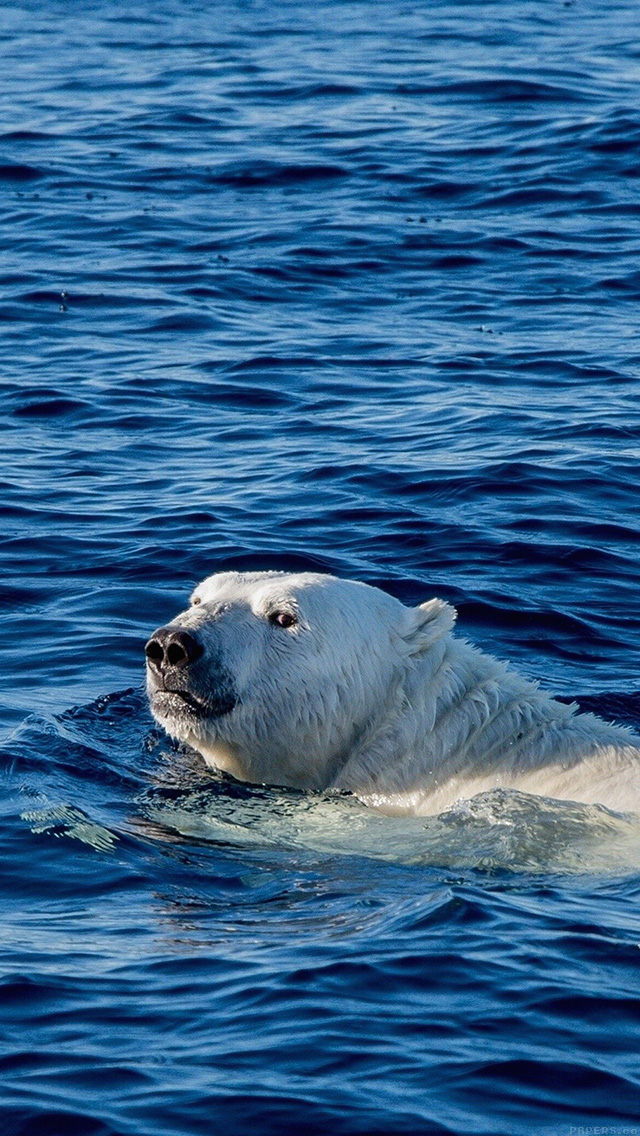 freeios8.com-iphone-4-5-6-plus-ipad-ios8-mq04-watch-me-swim-polar-bear-sea-animal