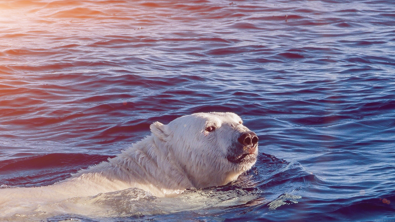 wallpaper-desktop-laptop-mac-macbook-mq05-dont-watch-me-swim-polar-bear-sea-animal-flare