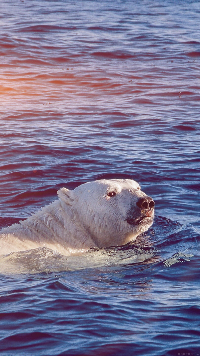 freeios8.com-iphone-4-5-6-plus-ipad-ios8-mq05-dont-watch-me-swim-polar-bear-sea-animal-flare