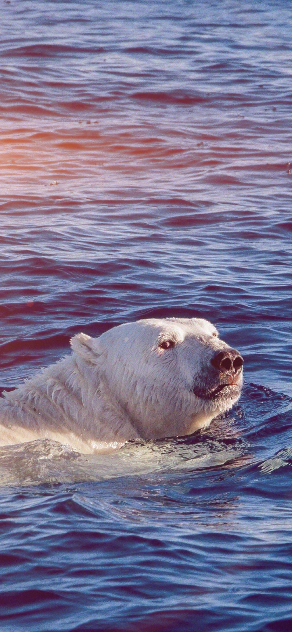 iPhoneXpapers.com-Apple-iPhone-wallpaper-mq05-dont-watch-me-swim-polar-bear-sea-animal-flare