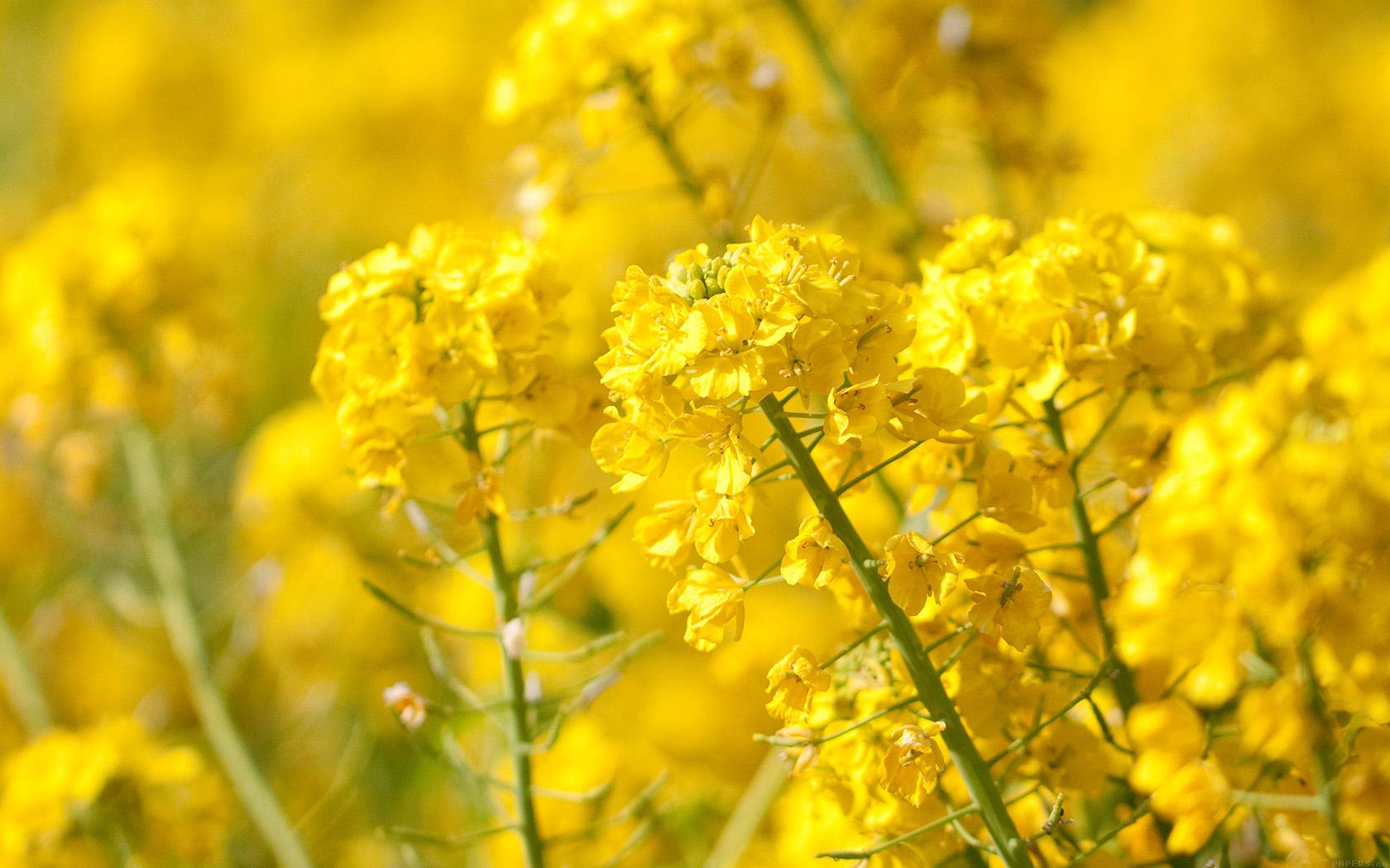 wallpaper for desktop, laptop | mq16-yellow-flower-spring ...