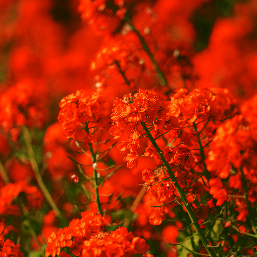 wallpaper-mq18-red-flower-spring-fun-nature-wallpaper