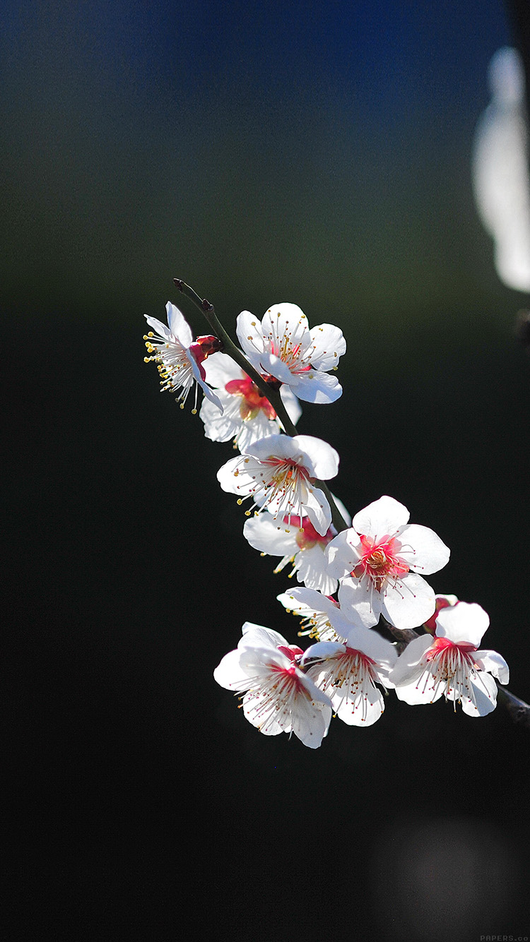 iPhone6papers.co-Apple-iPhone-6-iphone6-plus-wallpaper-mq22-spring-flower-sakura-nature-tree