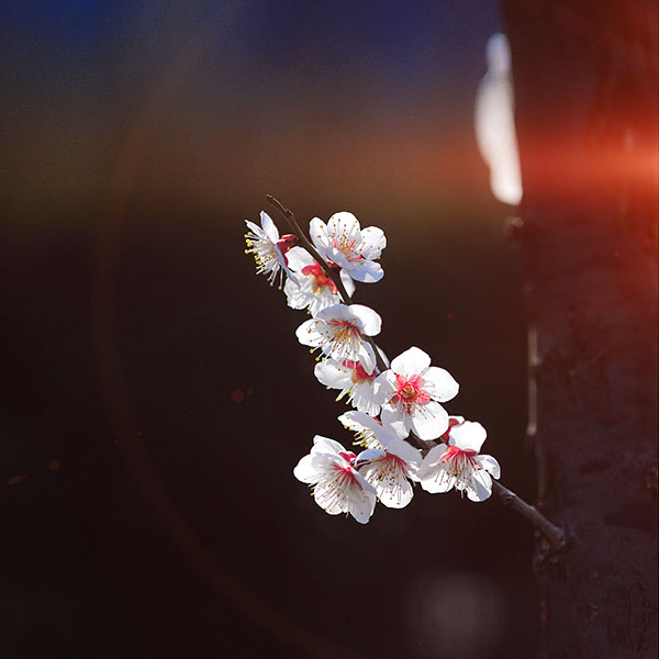 iPapers.co-Apple-iPhone-iPad-Macbook-iMac-wallpaper-mq23-spring-flower-sakura-nature-tree-flare-wallpaper