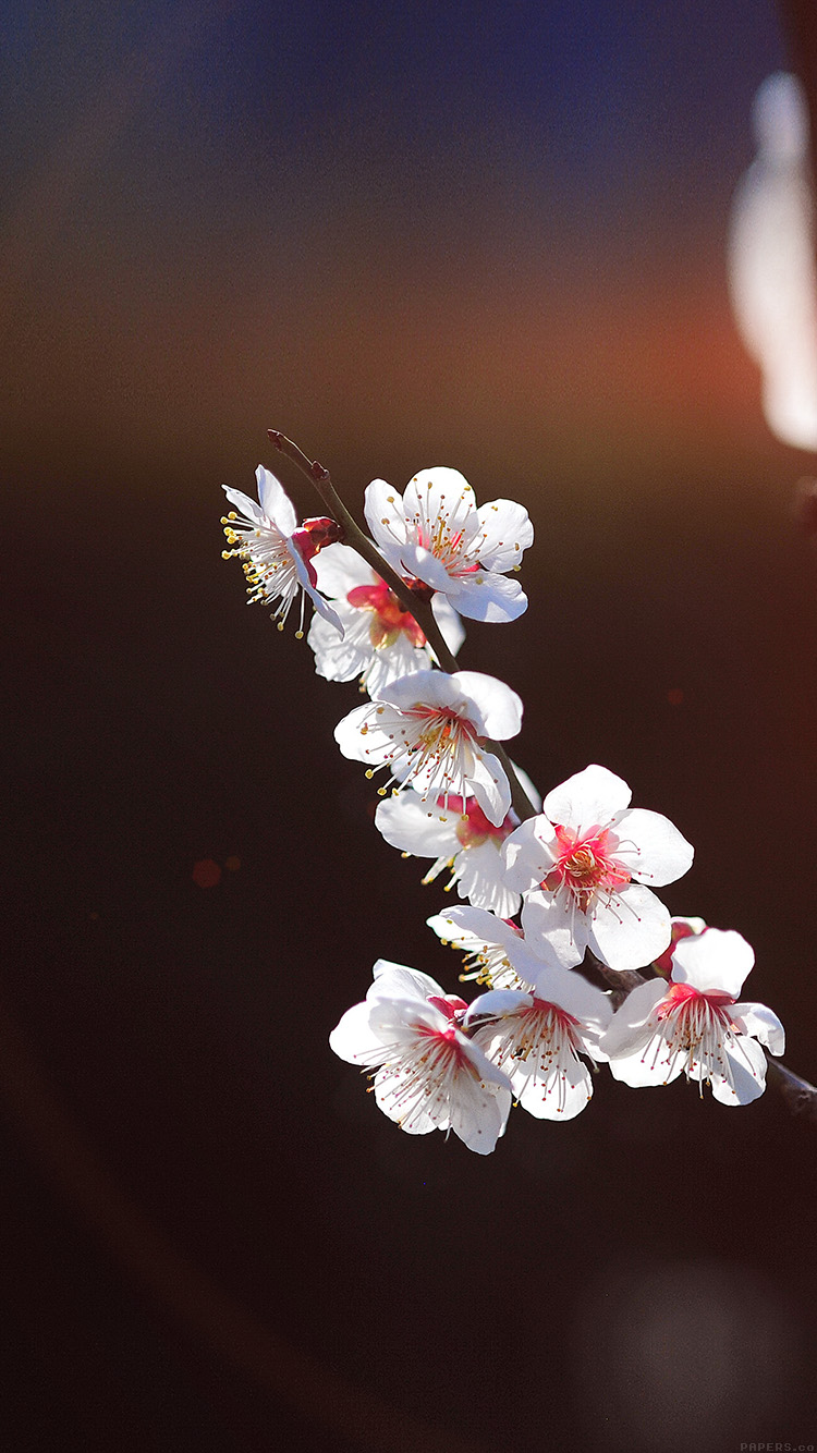iPhonepapers.com-Apple-iPhone-wallpaper-mq23-spring-flower-sakura-nature-tree-flare