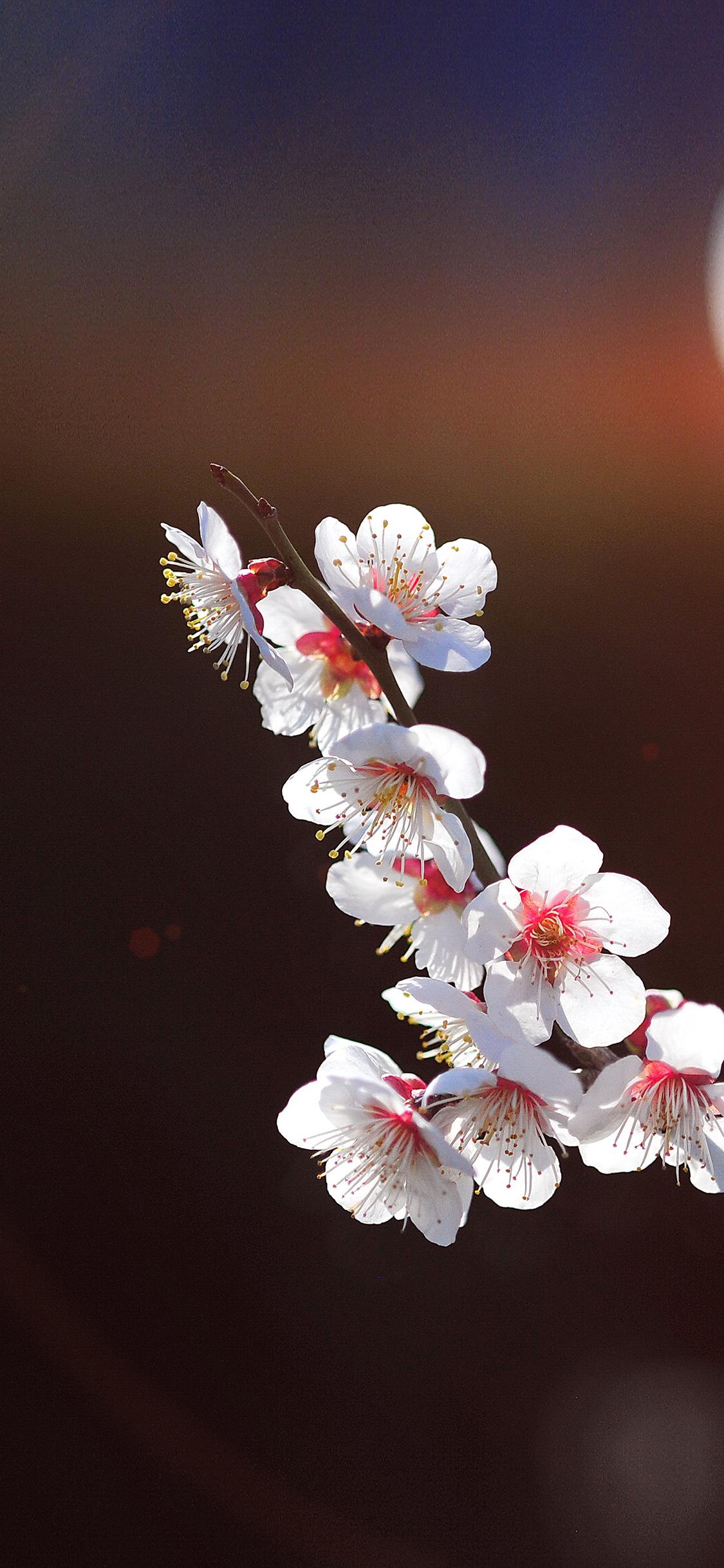 iPhonexpapers.com-Apple-iPhone-wallpaper-mq23-spring-flower-sakura-nature-tree-flare